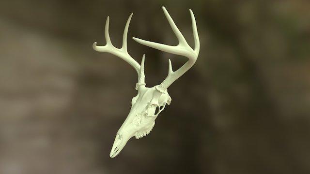 Whitetail Deer Skull 2015 3D Model
