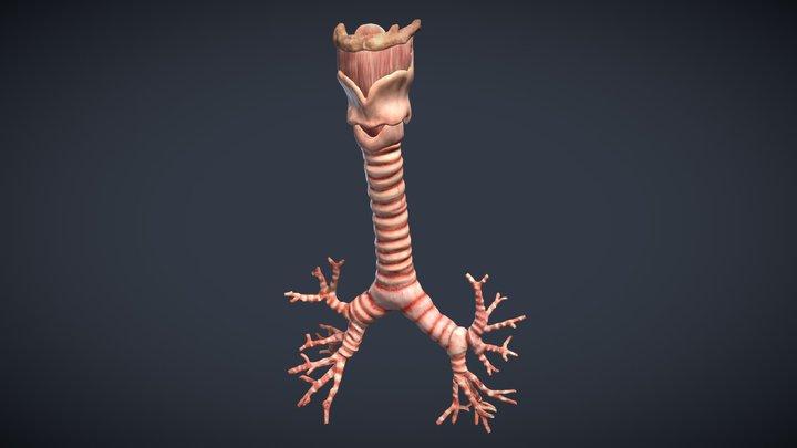 Human Larynx, Trachea and Bronchi 3D Model