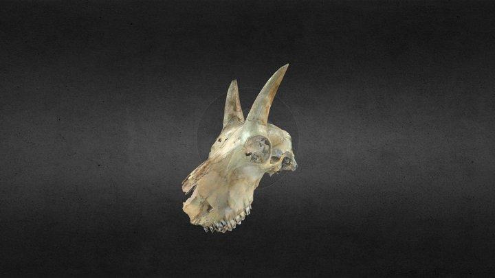 Mountain Goat 3D Model
