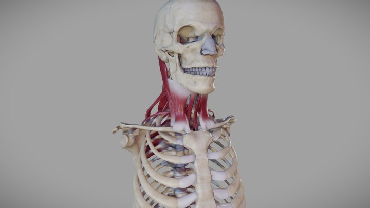 Deep Muscles of the Neck 3D Model