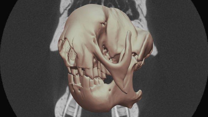 Three-Toed Sloth (Bradypus variegatus) 3D Model