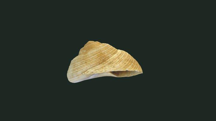 Trochus potulus 3D Model