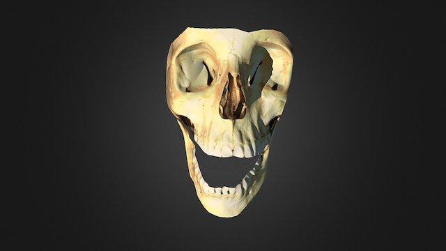 Cráneo. Vista frontal 1 3D Model
