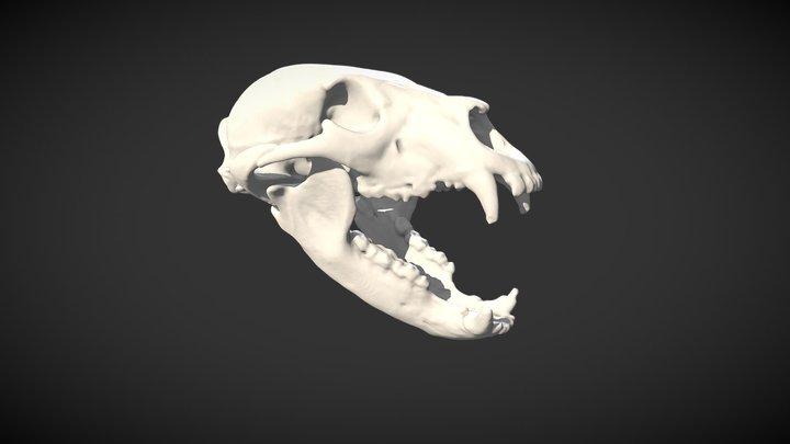 Crâne d'ours noir - Black bear skull 3D Model