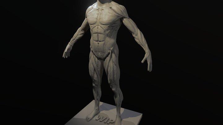 Male Anatomy study WIP 3D Model
