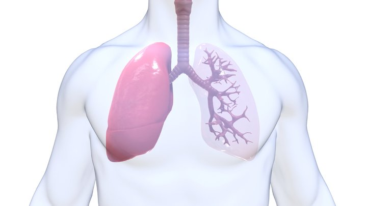Human Lungs Anatomy Body Respiratory System 3D Model