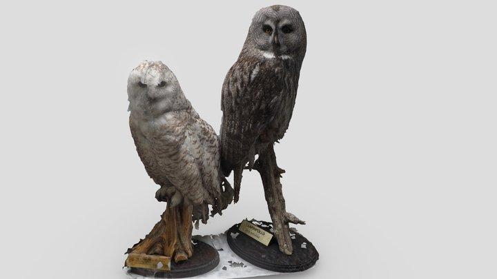 Lapinpöllö & Tunturipöllö (owls) 3D Model