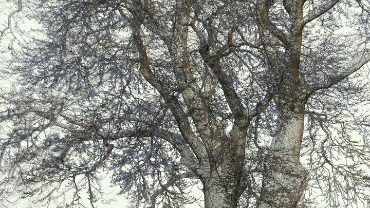 Chestnut-leaved oak at Kew Gardens 3D Model