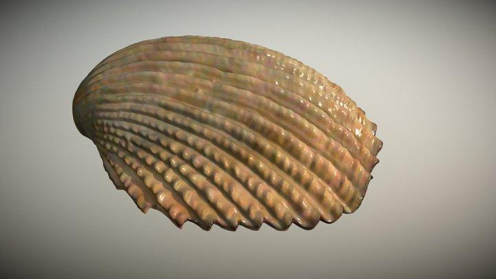 Scallop Shell Half 3D Model