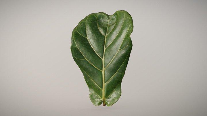 Green Fiddle Leaf 3D Model