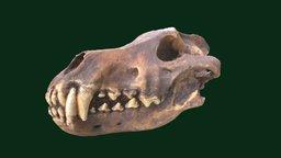 Dire Wolf Skull (Replica) 3D Model