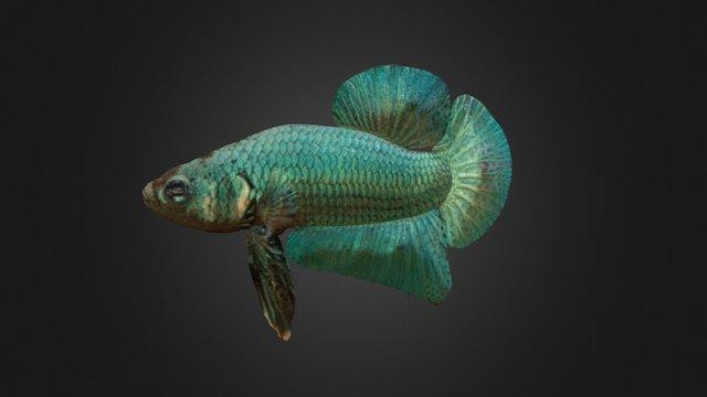 Blue Betta 3D Model