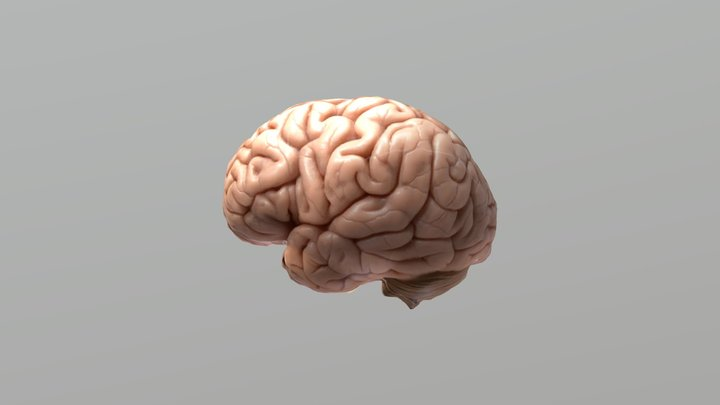Otak Manusia Sederhana ( Simple Human Brain) 3D Model