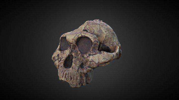 Paranthropus boisei -- Skull fossil 3D Model