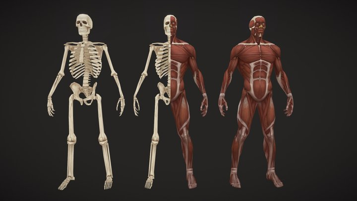 Stylized anatomy 3D Model