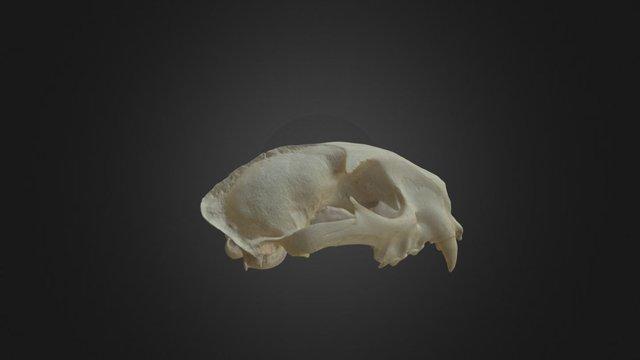 Puma concolor, skull 3D Model