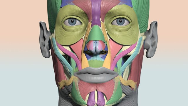 Colourcoded head muscle chart 3D Model