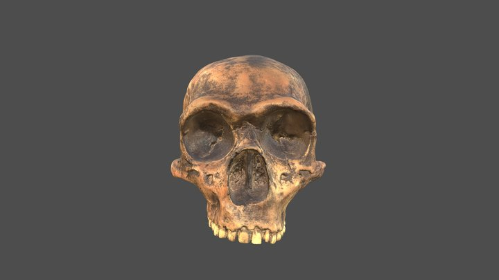 Gibraltar 1 Skull with Texture 3D Model
