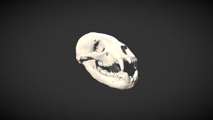Crâne d'ours à lunettes - Spectacled Bear Skull 3D Model
