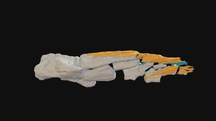 Tiktaalik NUFV110 fin 3D Model