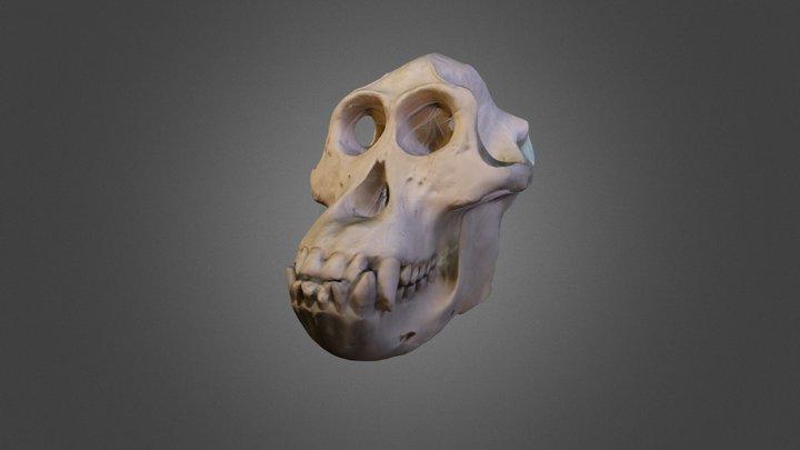 Male Orangutan Skull 3D Model