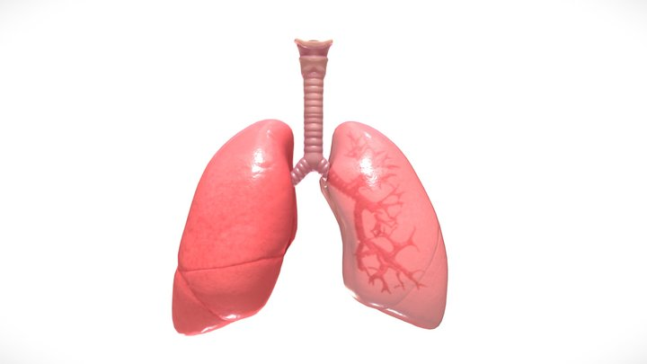 Respiratory System Lungs Bronchi 3D Model
