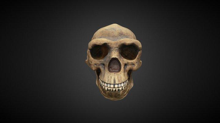 Homo erectus (replica) 3D Model