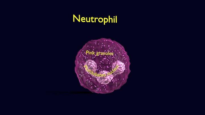 Neutrophil Animated Detail Granules White Blood 3D Model