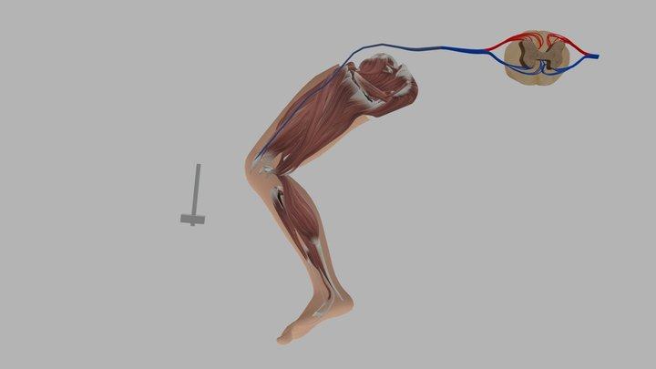 leg muscule 3D Model