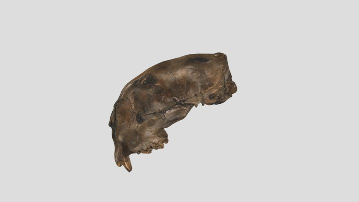 Fossil mountain lion (Puma concolor) skull 3D Model