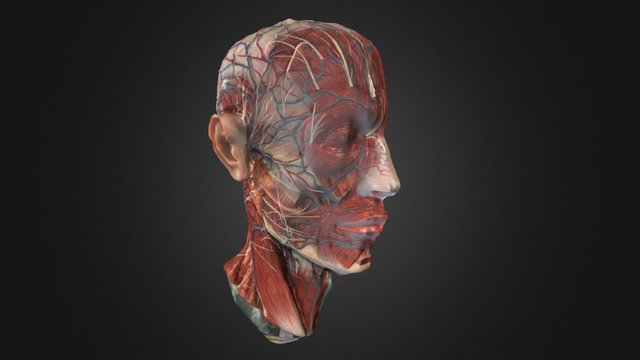 Hemisected Head Model 3D Model