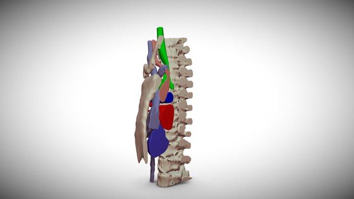 Sternal double view 3D Model