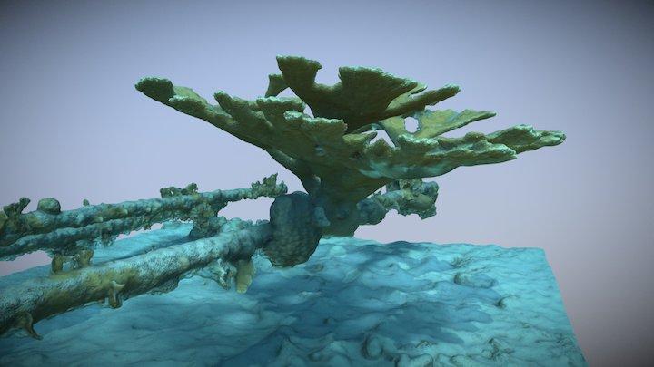Acropora palmata 01 3D Model