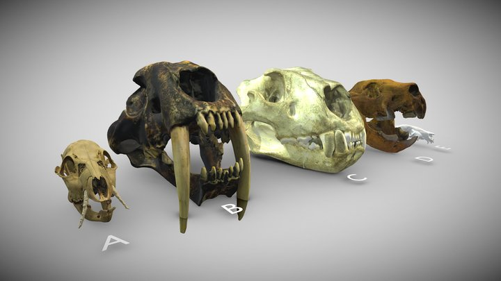 A variety of skulls with enlarged canines 3D Model