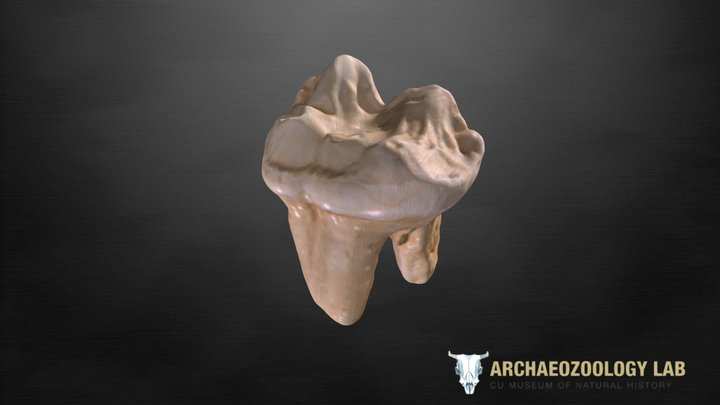 CUMNH Fossil Kit - Cave Bear tooth 3D Model