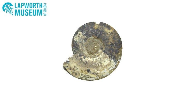 Ringsteadia anglica (Ammonite) BIRUG 50264 3D Model