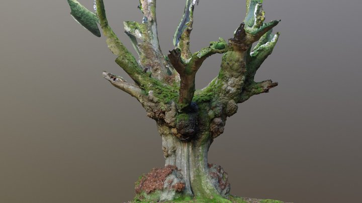 Photogrammetry Beech Tree With Large Burls 3D Model