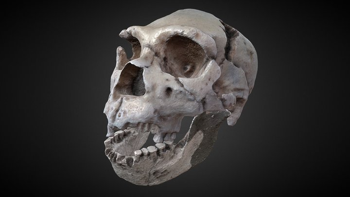 Homo heidelbergensis - OPTIMIZADO - Skull fossil 3D Model