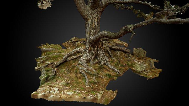 Black pine (Pinus nigra) - Serra de Cardó 3D Model