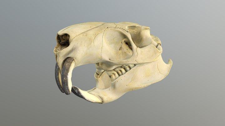Coypu - Myocastor coypus skull 3D Model