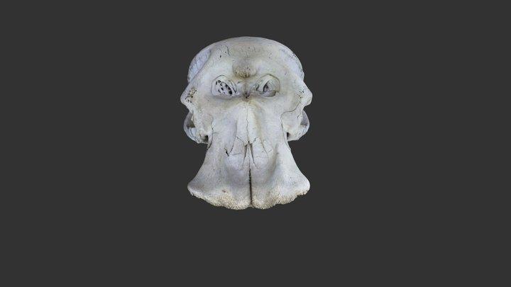 Elephant bull skull 3D Model