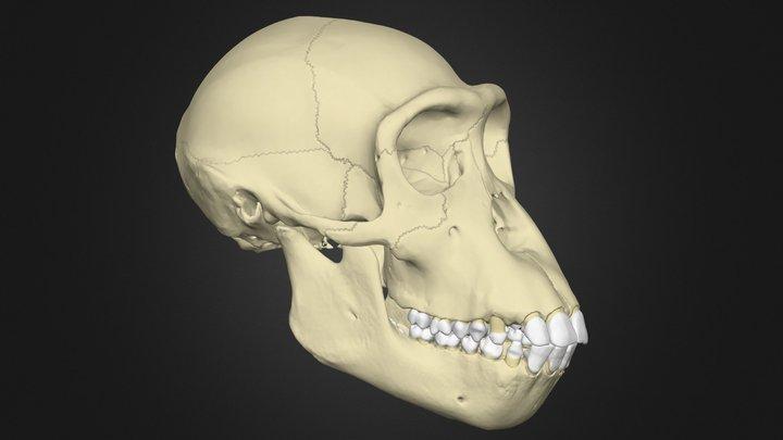 Anatomy of the Bonobo Skull 3D Model