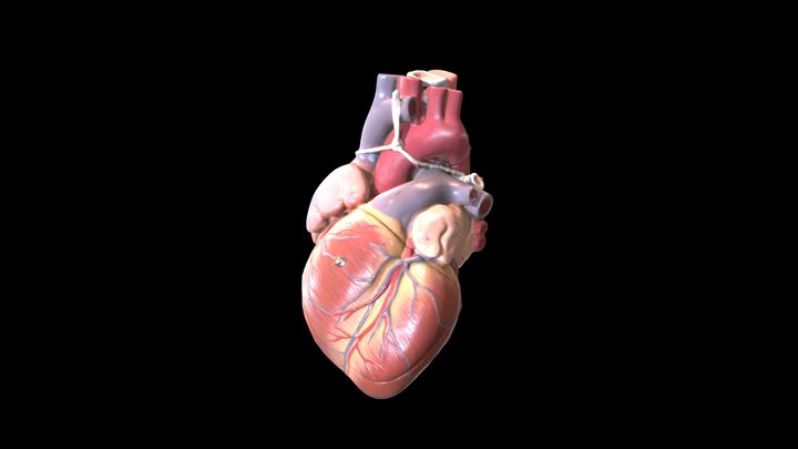 Heart (Plastic Model) - Surfaces 3D Model