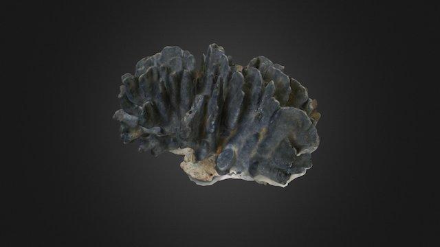 Heliopora sp. 3D Model