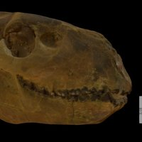 Oreodont Skull 3D Model