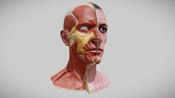Head Anatomy for Artist 3D Model