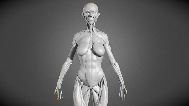 Female Body Muscular System - Anatomy Study 3D Model