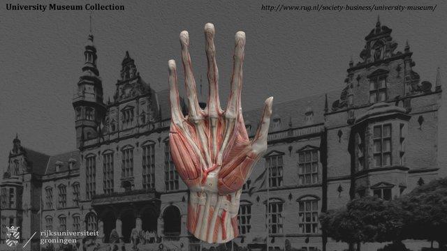 Anatomical hand 3D Model