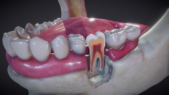 Tooth Cross-Section 3D Model