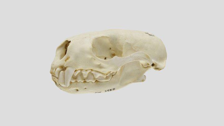 UWYMV 3950, Lontra canadensis - Complete Skull 3D Model